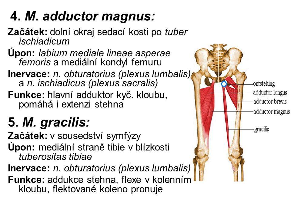 4. M. adductor magnus: 5. M. gracilis: