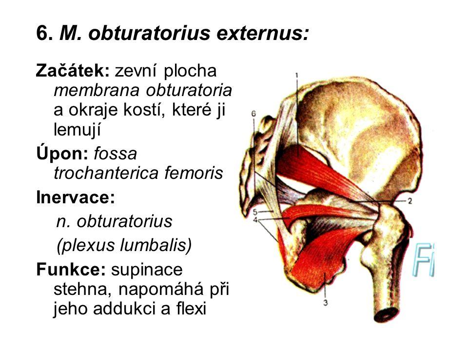6. M. obturatorius externus: