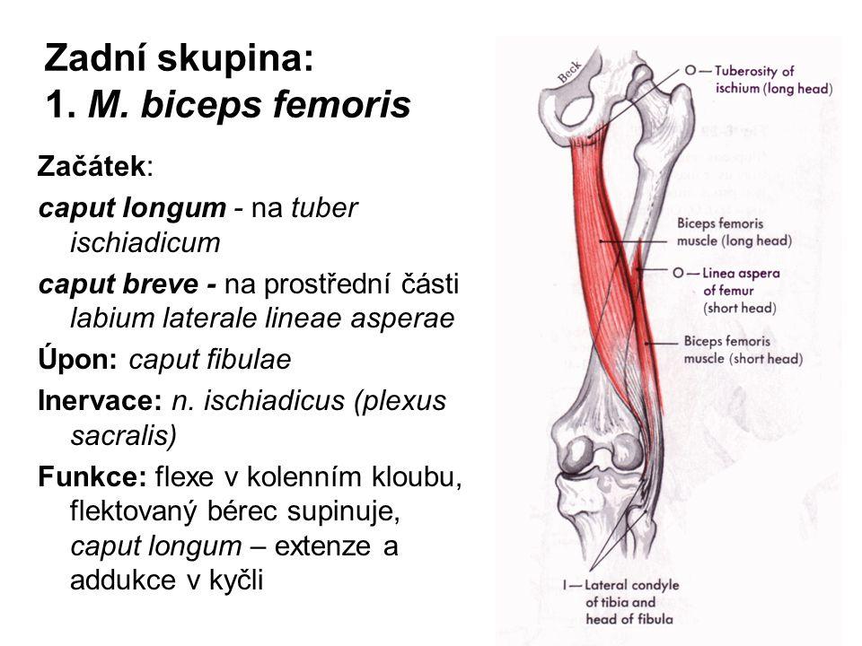 Zadní skupina: 1. M. biceps femoris
