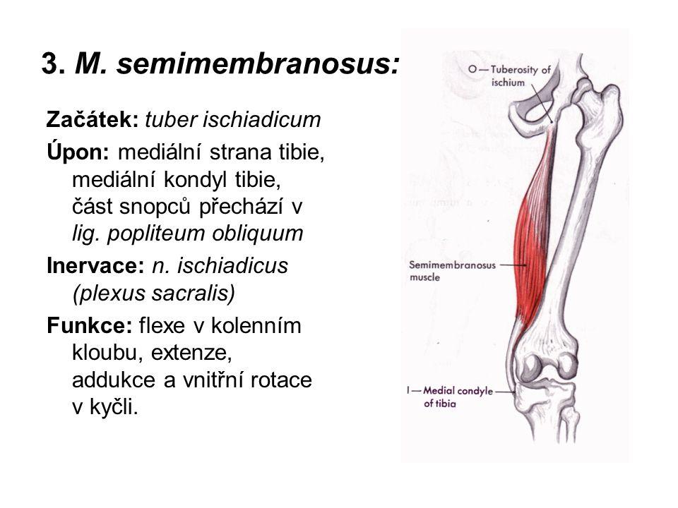 3. M. semimembranosus: Začátek: tuber ischiadicum