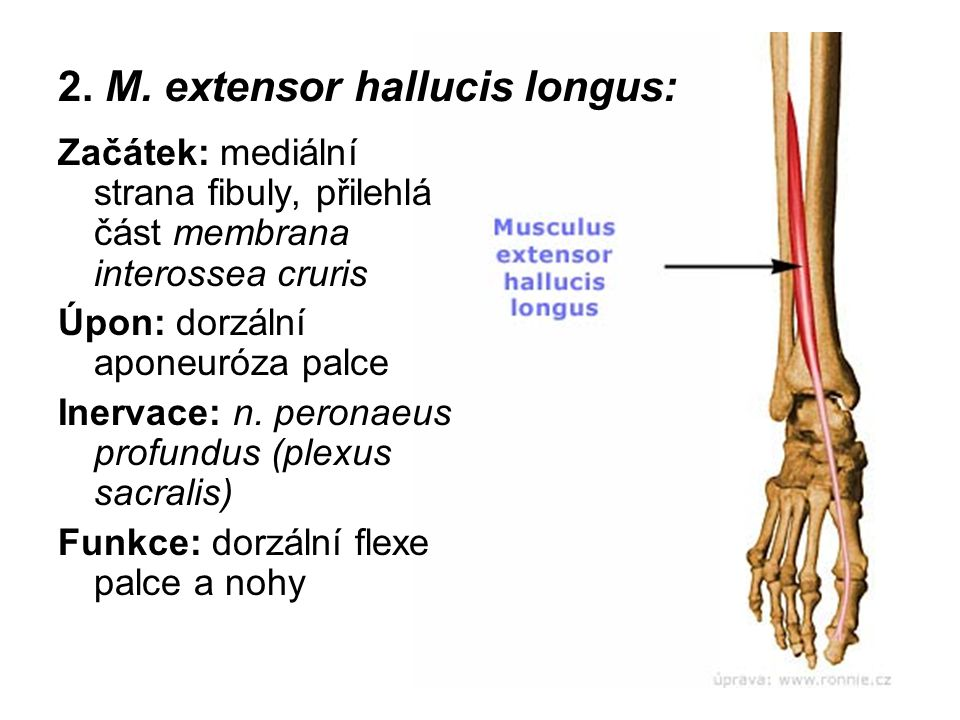 2. M. extensor hallucis longus: