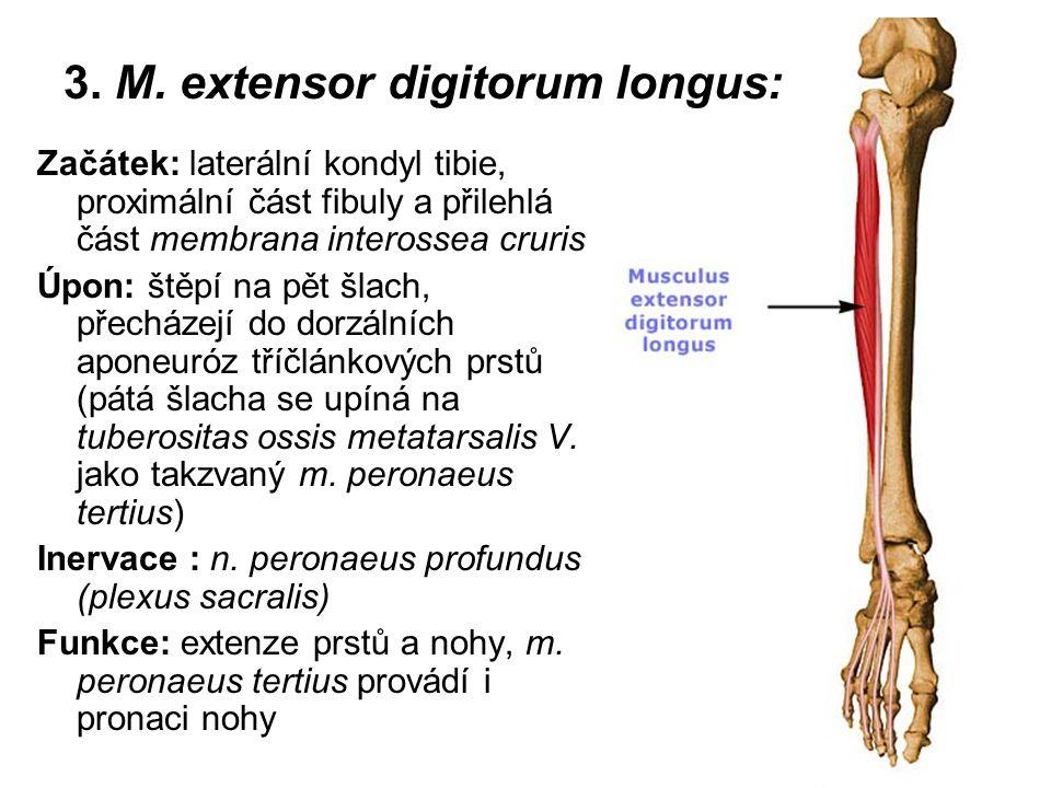 3. M. extensor digitorum longus: