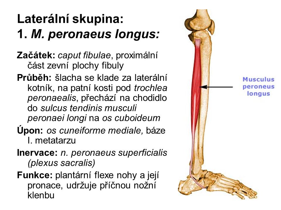 Laterální skupina: 1. M. peronaeus longus: