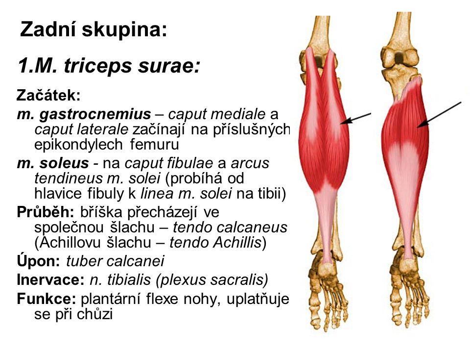 Zadní skupina: M. triceps surae: Začátek: