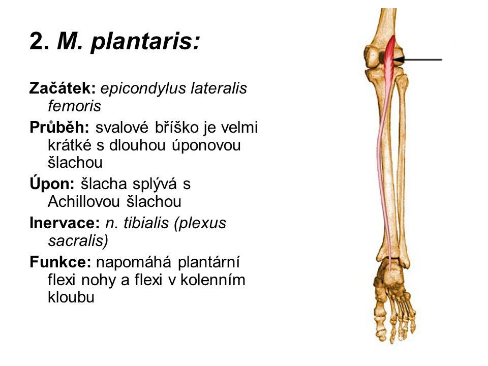 2. M. plantaris: Začátek: epicondylus lateralis femoris