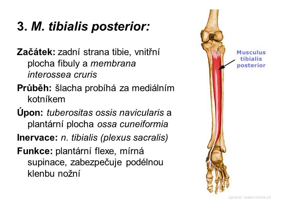 3. M. tibialis posterior: Začátek: zadní strana tibie, vnitřní plocha fibuly a membrana interossea cruris.