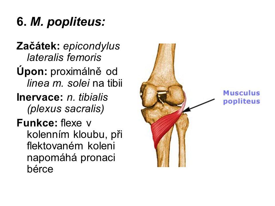 6. M. popliteus: Začátek: epicondylus lateralis femoris