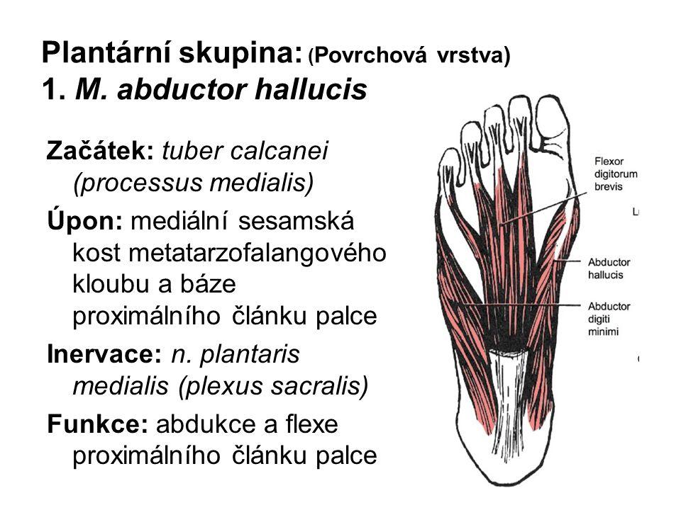 Plantární skupina: (Povrchová vrstva) 1. M. abductor hallucis