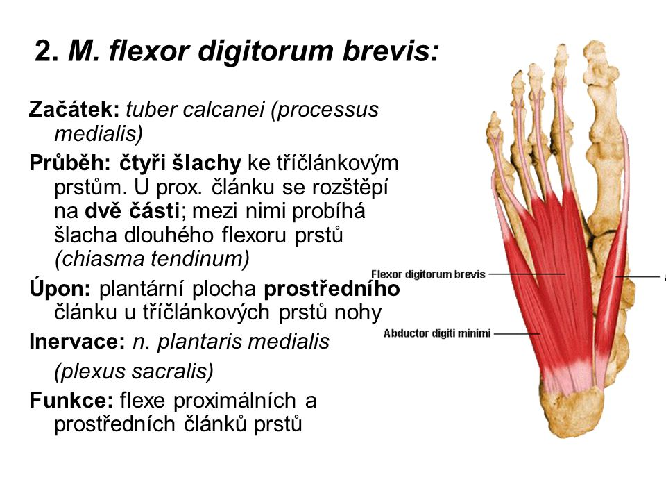 2. M. flexor digitorum brevis: