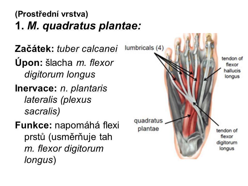 (Prostřední vrstva) 1. M. quadratus plantae: