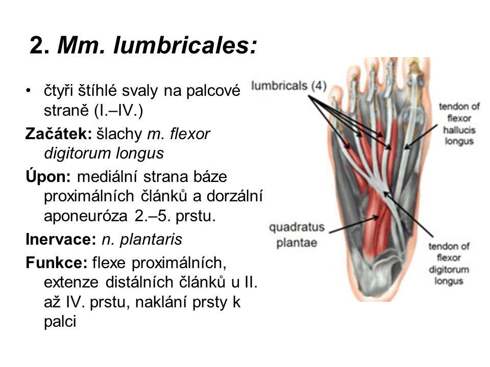 2. Mm. lumbricales: čtyři štíhlé svaly na palcové straně (I.–IV.)