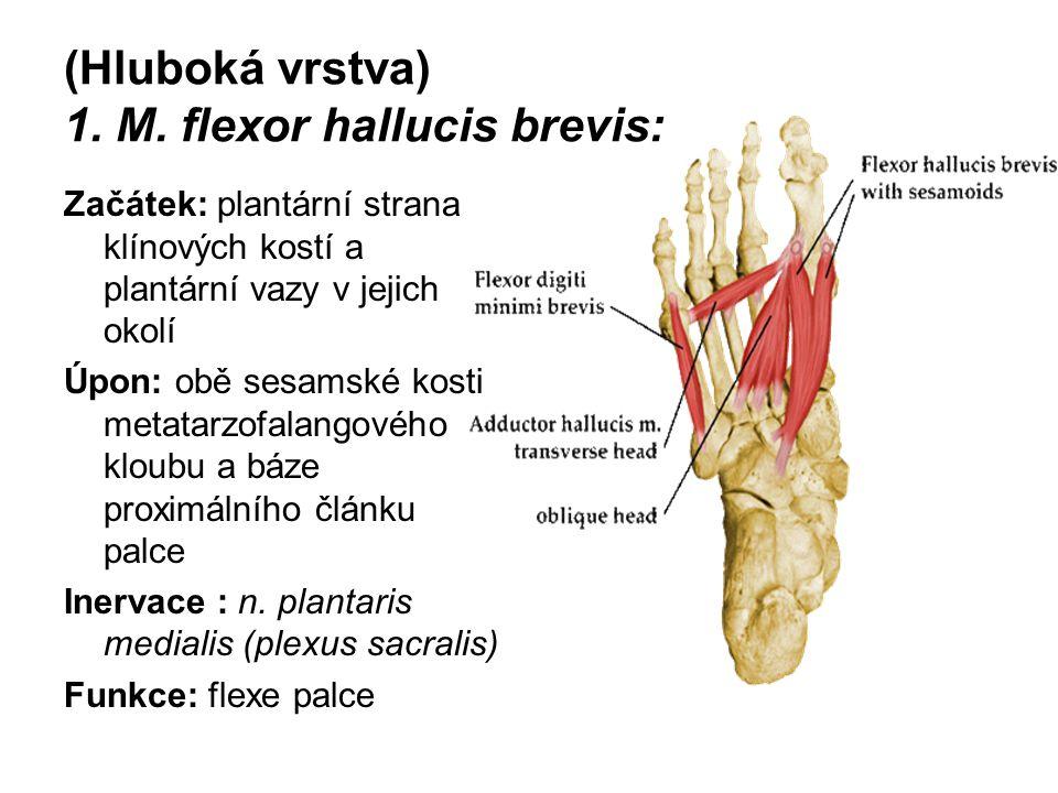 (Hluboká vrstva) 1. M. flexor hallucis brevis: