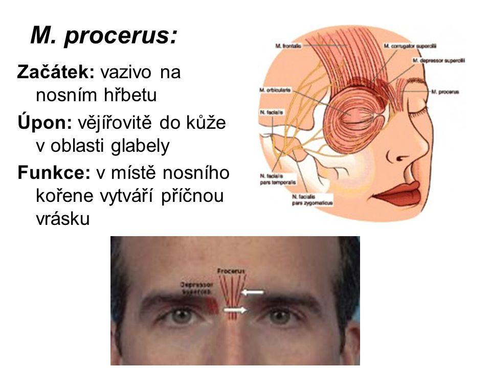 M. procerus: Začátek: vazivo na nosním hřbetu