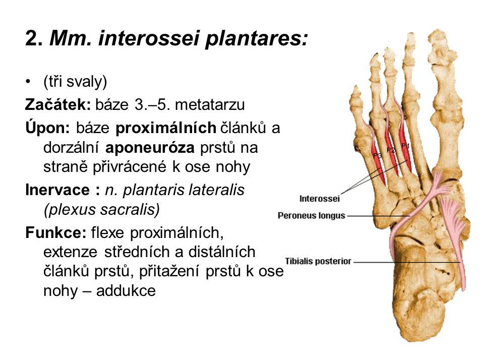 2. Mm. interossei plantares: