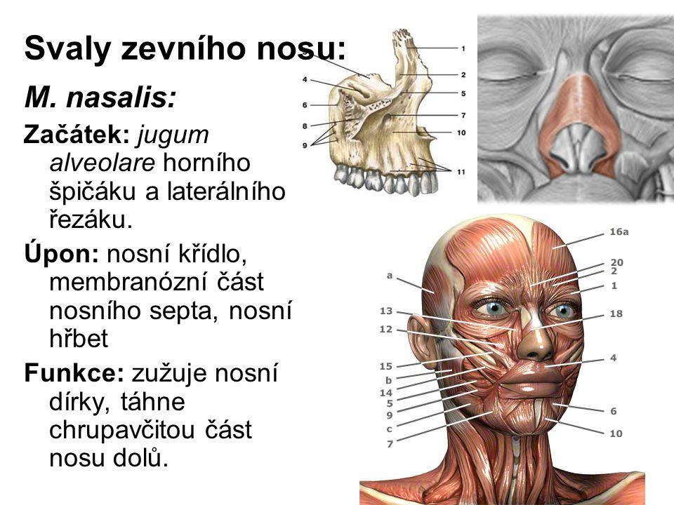 Svaly zevního nosu: M. nasalis: