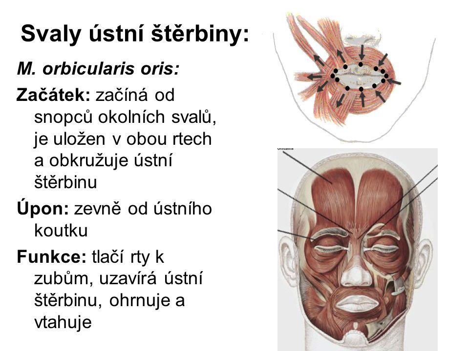 Svaly ústní štěrbiny: M. orbicularis oris:
