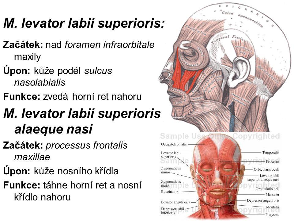 M. levator labii superioris: