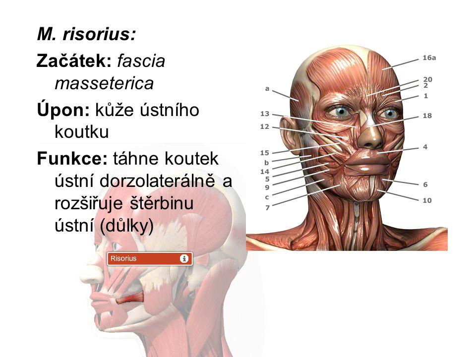 M. risorius: Začátek: fascia masseterica. Úpon: kůže ústního koutku.