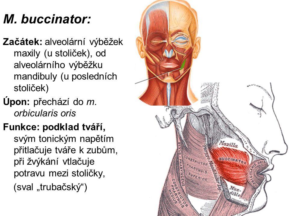 M. buccinator: Začátek: alveolární výběžek maxily (u stoliček), od alveolárního výběžku mandibuly (u posledních stoliček)
