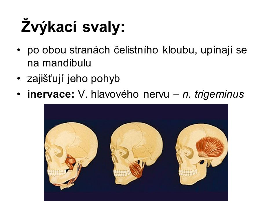 Žvýkací svaly: po obou stranách čelistního kloubu, upínají se na mandibulu.