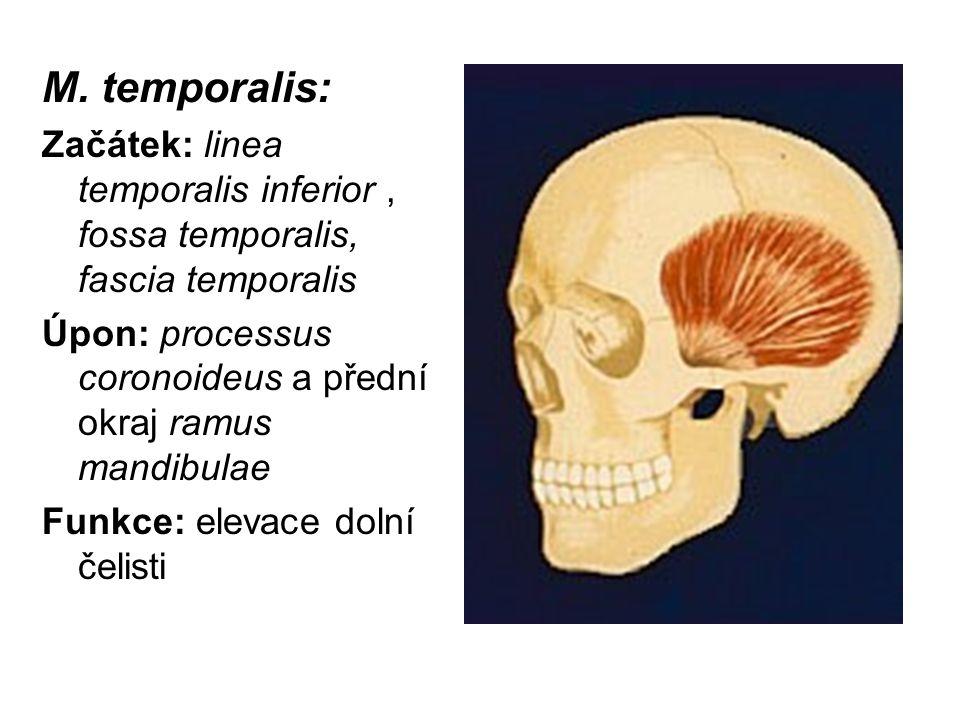 M. temporalis: Začátek: linea temporalis inferior , fossa temporalis, fascia temporalis. Úpon: processus coronoideus a přední okraj ramus mandibulae.