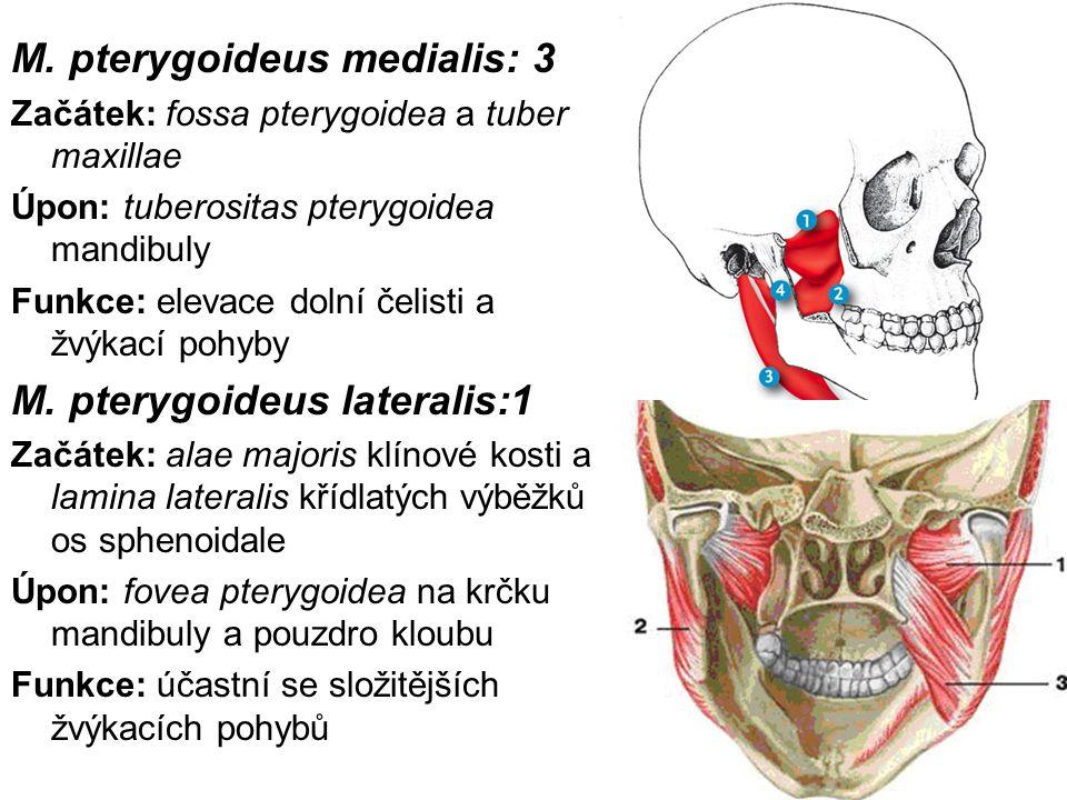 M. pterygoideus medialis: 3