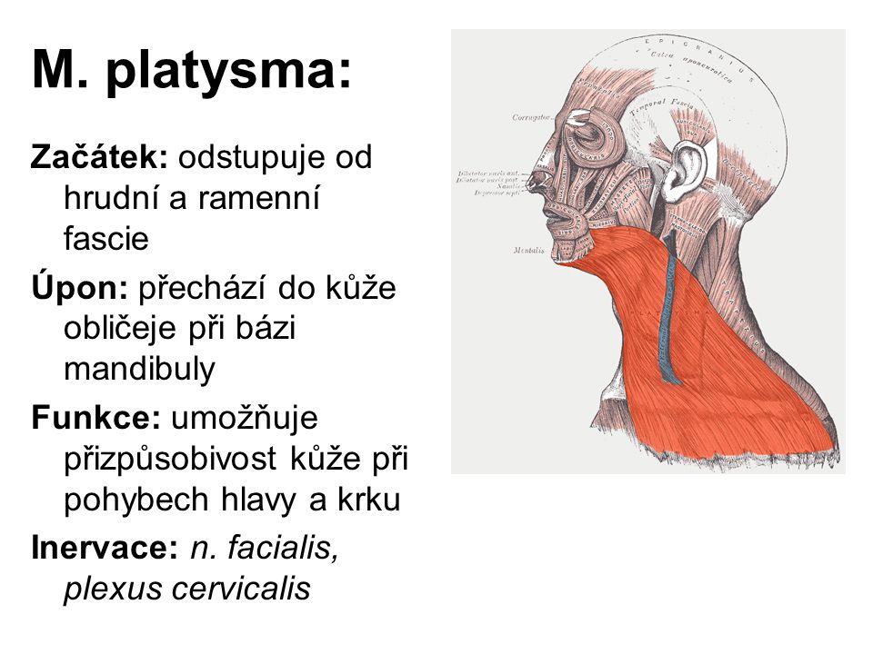 M. platysma: Začátek: odstupuje od hrudní a ramenní fascie