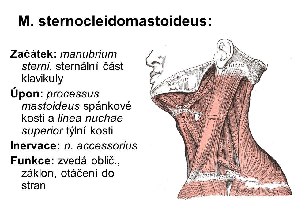 M. sternocleidomastoideus: