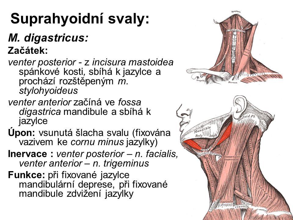 Suprahyoidní svaly: M. digastricus: Začátek: