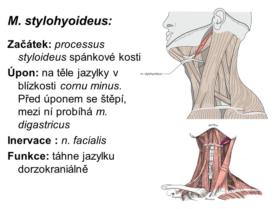 M. stylohyoideus: Začátek: processus styloideus spánkové kosti