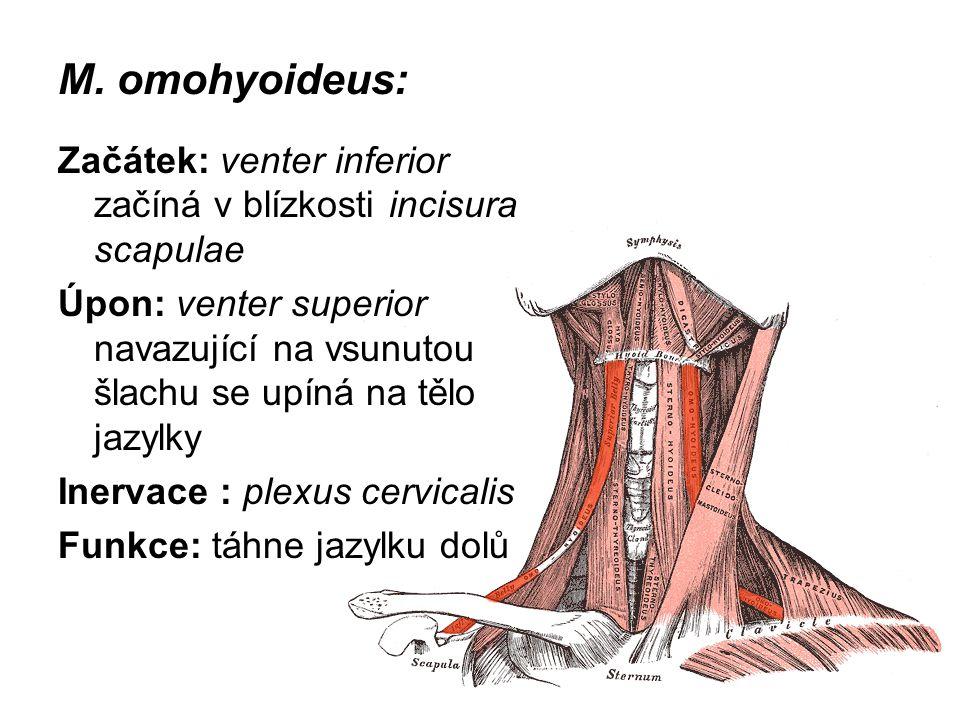 M. omohyoideus: Začátek: venter inferior začíná v blízkosti incisura scapulae.
