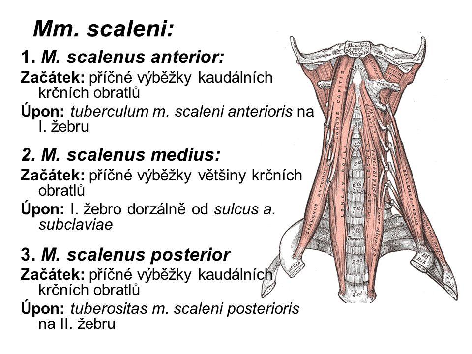 Mm. scaleni: 1. M. scalenus anterior: 2. M. scalenus medius: