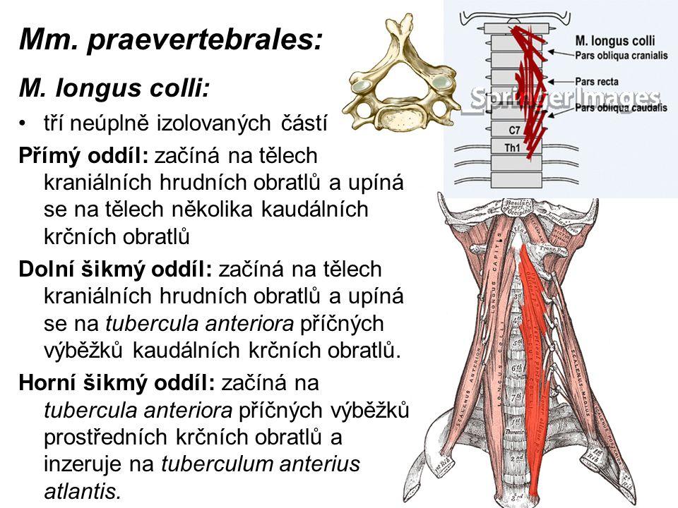 Mm. praevertebrales: M. longus colli: tří neúplně izolovaných částí