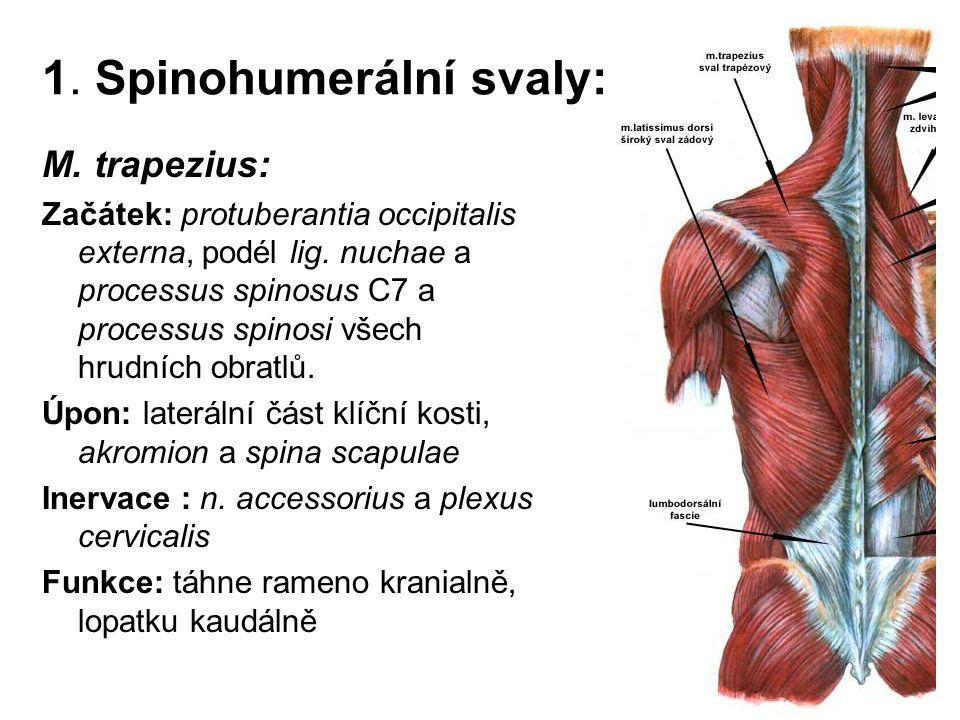 1. Spinohumerální svaly: