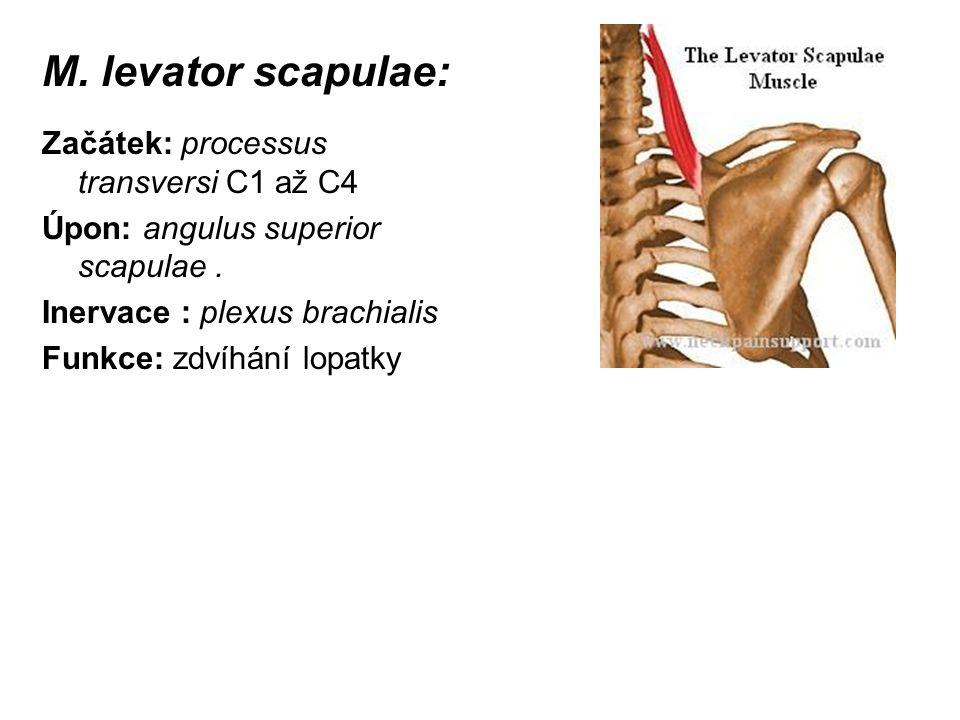 M. levator scapulae: Začátek: processus transversi C1 až C4