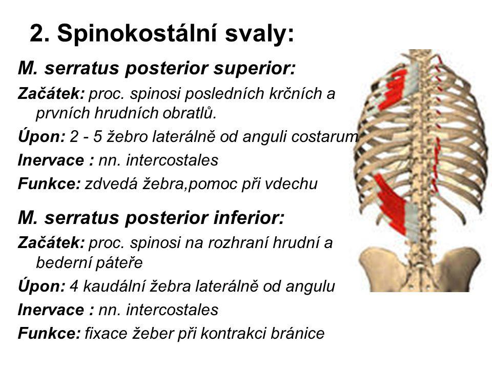 2. Spinokostální svaly: M. serratus posterior superior: