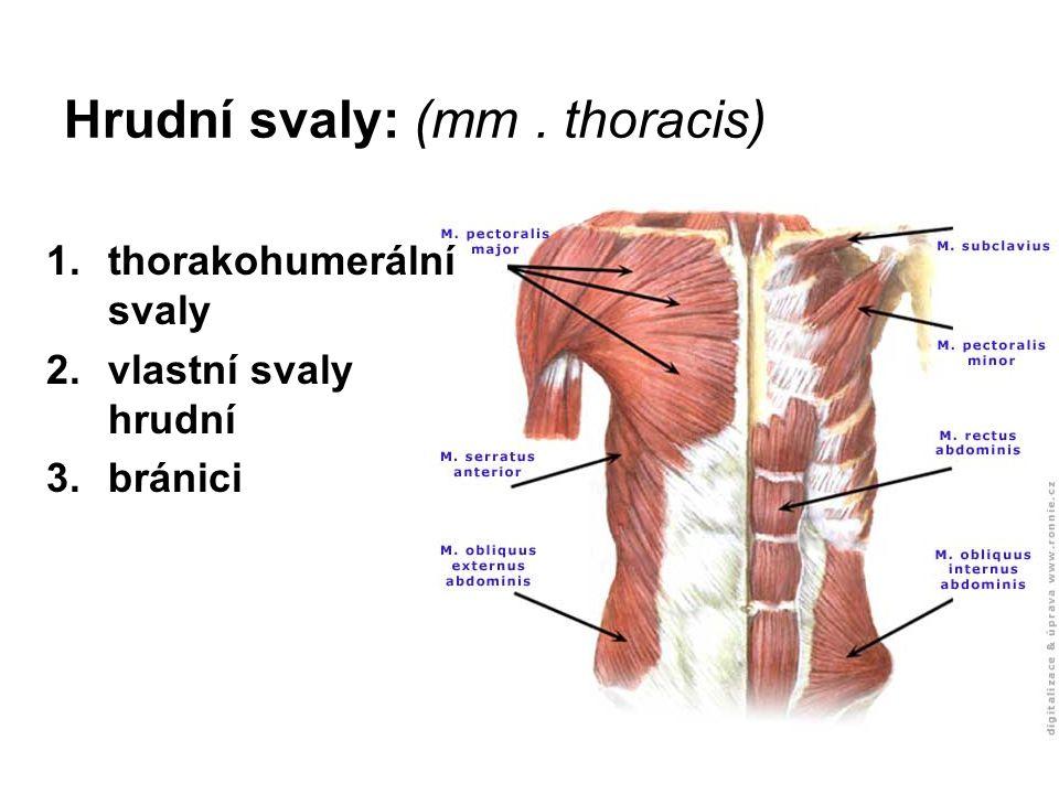 Hrudní svaly: (mm . thoracis)