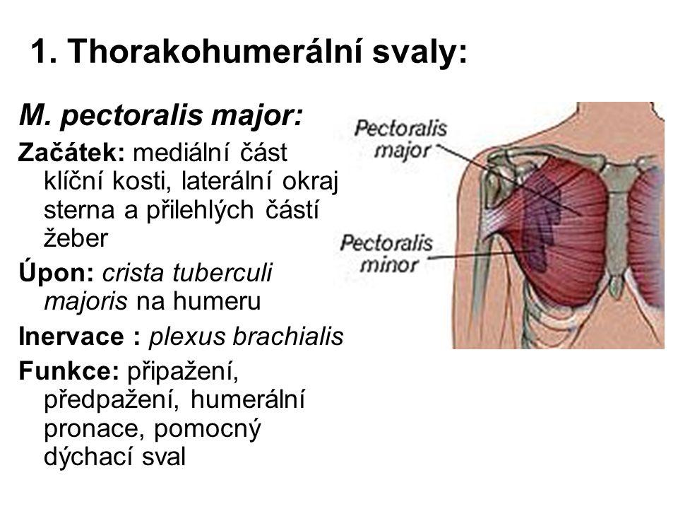 1. Thorakohumerální svaly: