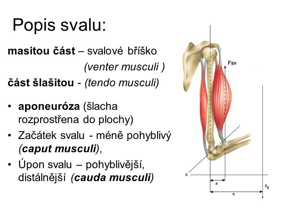 Popis svalu: masitou část – svalové bříško (venter musculi )