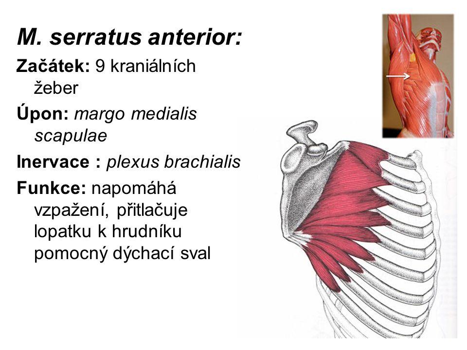 M. serratus anterior: Začátek: 9 kraniálních žeber