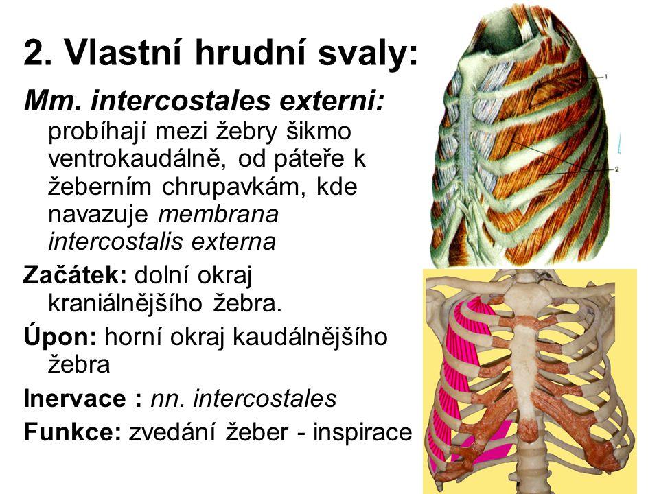 2. Vlastní hrudní svaly:
