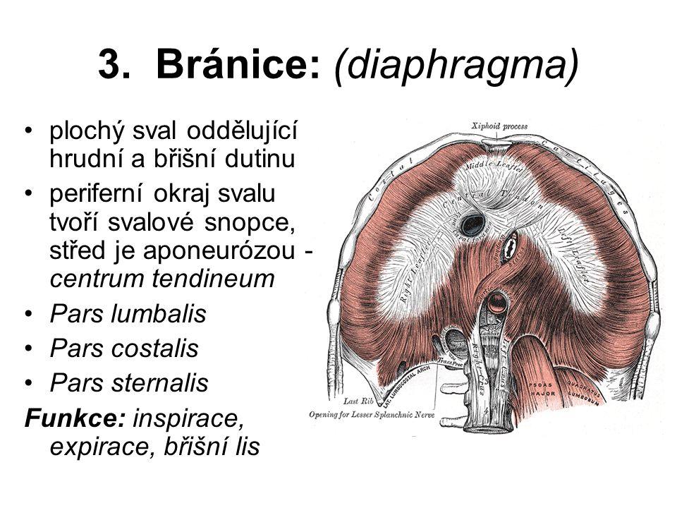 3. Bránice: (diaphragma)