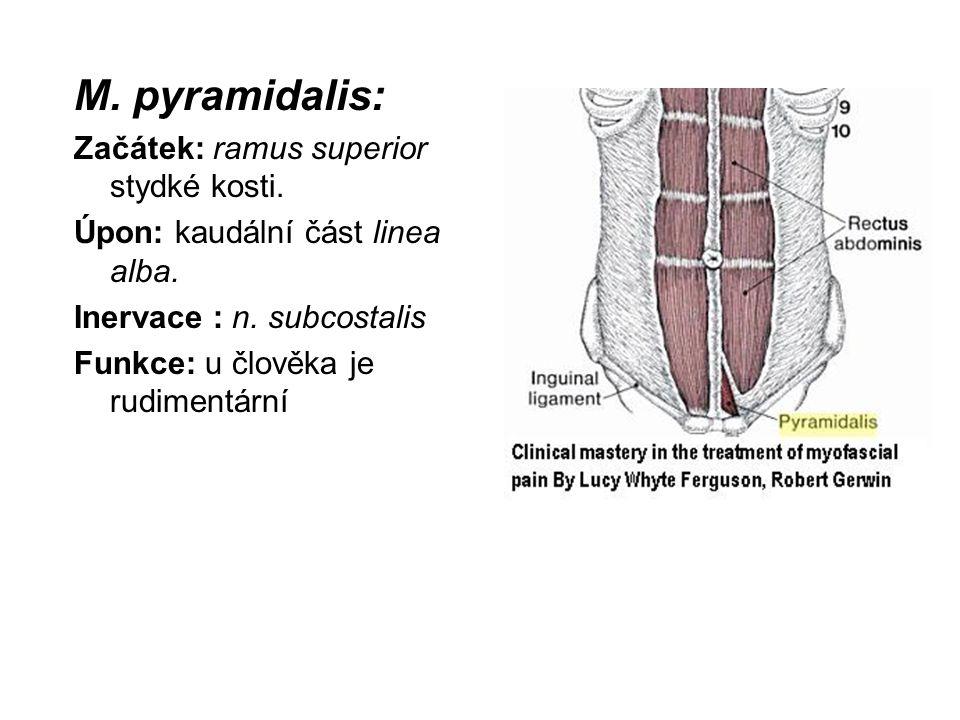 M. pyramidalis: Začátek: ramus superior stydké kosti.