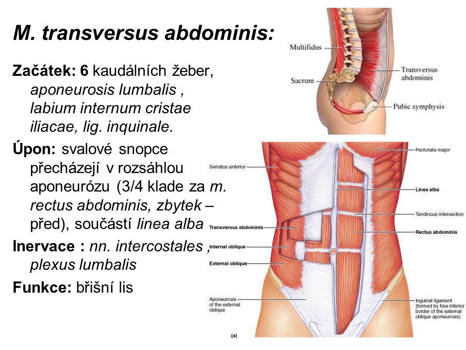 M. transversus abdominis: