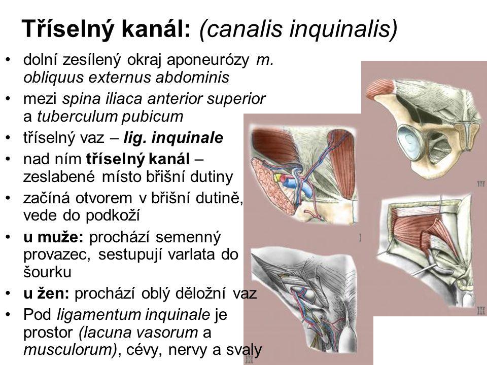 Tříselný kanál: (canalis inquinalis)