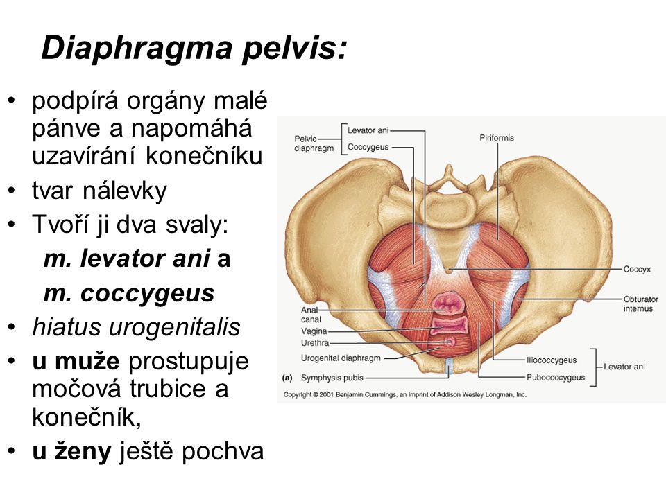 Diaphragma pelvis: podpírá orgány malé pánve a napomáhá uzavírání konečníku. tvar nálevky. Tvoří ji dva svaly: