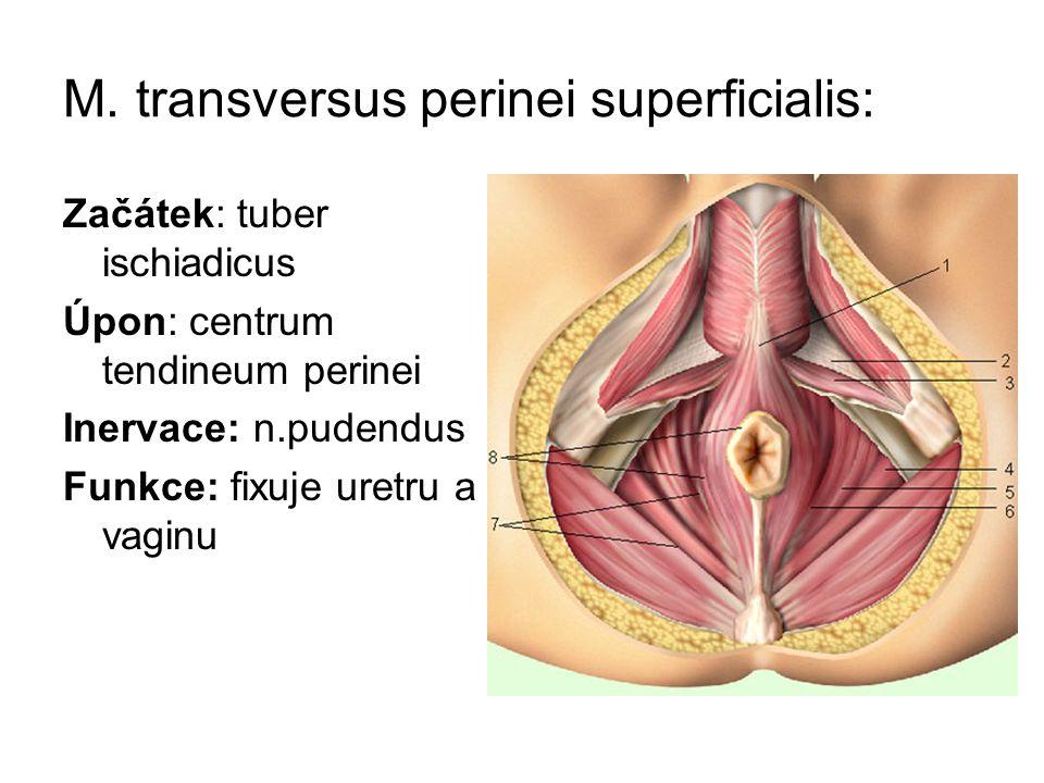 M. transversus perinei superficialis: