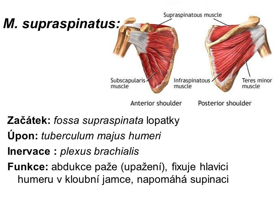 M. supraspinatus: Začátek: fossa supraspinata lopatky
