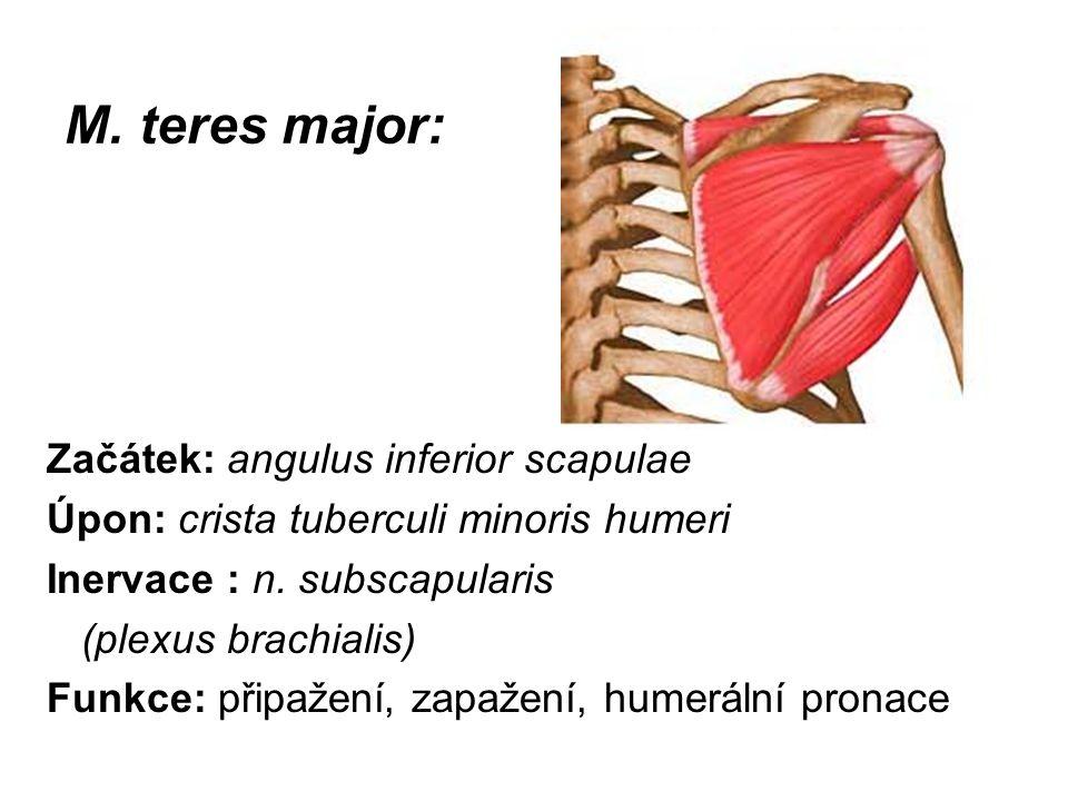 M. teres major: Začátek: angulus inferior scapulae