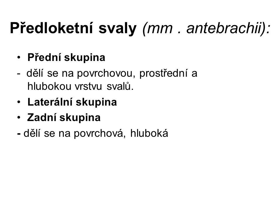 Předloketní svaly (mm . antebrachii):